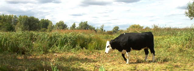 Cow and a field